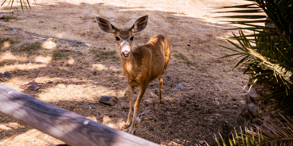 Photograph of a deer standing and looking at the camera at Hermit Gulch on Catalina Island