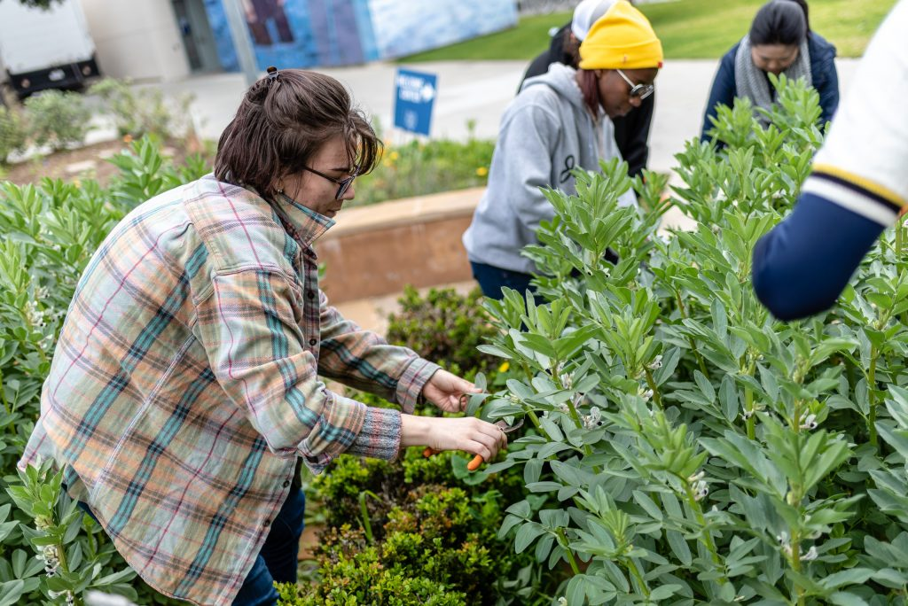 "Katrina Preiss, A Cultural Anthropology Major From Santa Monica, Chops Fava Stalks In The SMC Organic Learning Garden As Part Of Club Grow's ""Composting With Cover Crop"" Activity On Tuesday, March 5, 2019. Preiss Holds A 2017 Associates Degree In Pastry From The International Culinary Center In San Jose, Calif. Her ""10-Year-Plan"" For Her Cultural Anthropology Studies At SMC Is To Travel The World To Study International Bread Making Cultures. Among Other Things, Preiss Wants To Know, ""How Cultures Make Their Bread When They Don't Have Access To Wheat? Or To Rice?"" Preiss Said, ""Every Culture Has A Carb."" The Culmination Of Her Travel-Filled 10-Year-Plan Is To Come Home And Open Her Own International Bread Bakery. (Glenn Zucman/The Corsair)"