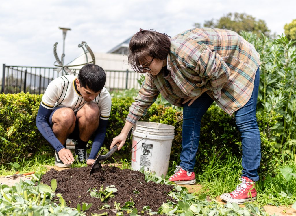 "English Major Nick Glover, From Houston, Texas, And Cultural Anthropology Major Katrina Preiss, From Santa Monica, Calif., Pour Compost Over Just Chopped Fava Stalks In SMC's Organic Learning Garden On Tuesday, March 5, 2019. Glover, Preiss, And Other Members Of Club Grow Are Working On The Club's ""Composting With Cover Crop"" Activity. (Glenn Zucman/The Corsair)"